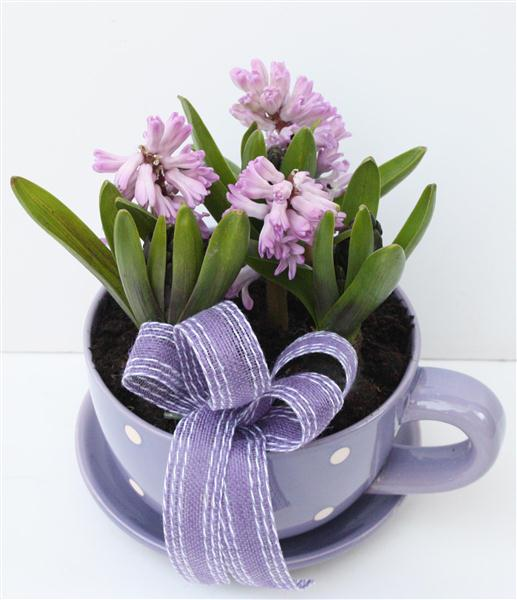 Cup Of Hyacinths